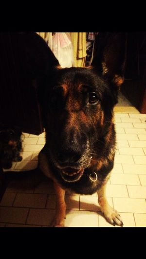 You were and always will be, my best friend German Shepherd 08102014 Inlovingmemory Lovemydog
