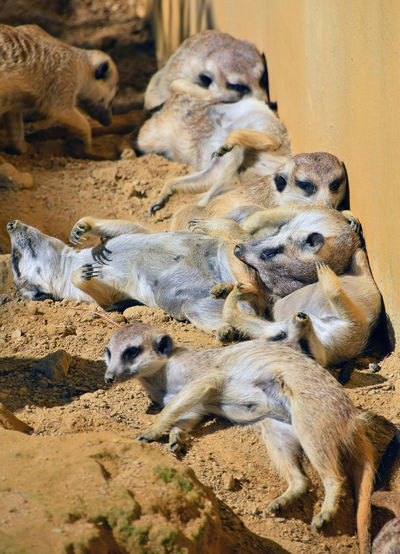 High Angle View Of Meerkats On Dirt Road