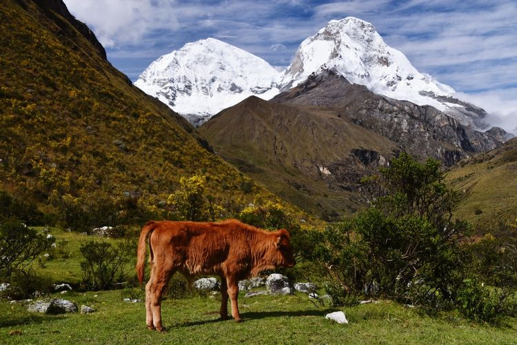 Cows standing on mountain against sky