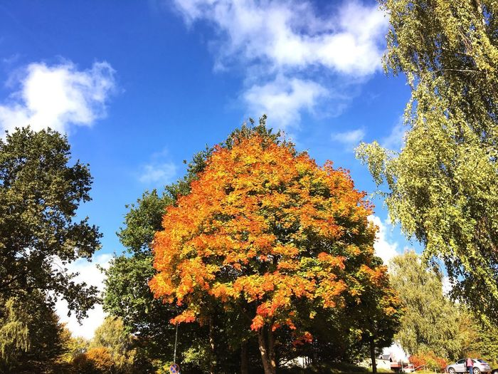 Tree Autumn Change Low Angle View Nature Growth Beauty In Nature Sky Day Leaf Outdoors Tranquility No People Cloud - Sky Sunset #sun #clouds #skylovers #sky #nature #beautifulinnature #naturalbeauty #photography #landscape Scenics