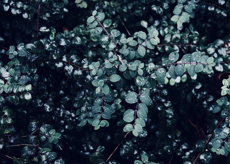 dark green leafy plant Copy Space Green Shade The Week On EyeEm Abstract Backdrop Backgrounds Beauty In Nature Close-up Dark Green Dark Green Leaves Drop Flora Fragility Freshness Full Frame Garden Growth Leaf Nature Outdoors Park Plant Tree Water
