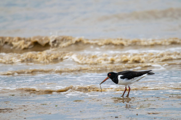 Common pied oystercatcher searching for food at low tide in the dengie mud flats
