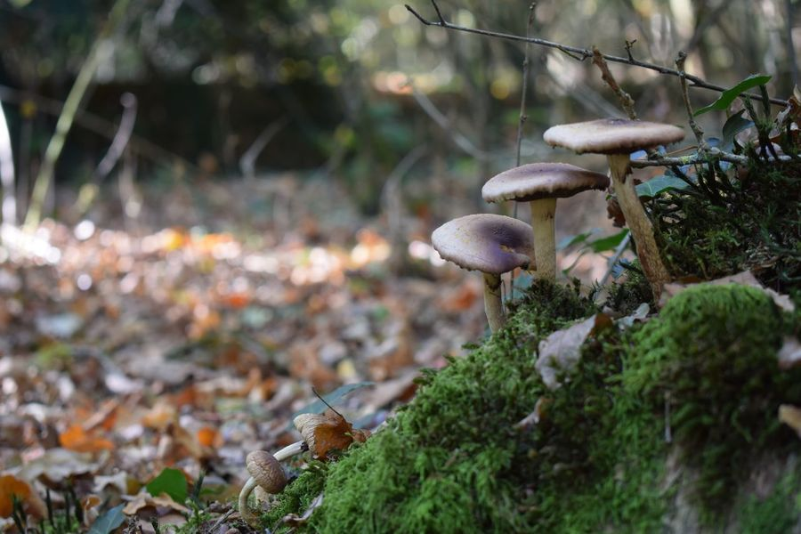 Mushrooms on mossy green. Mushroom Fungus Plant Growth Land Tree Toadstool Beauty In Nature Focus On Foreground Food Selective Focus Day Close-up Forest Vegetable Nature No People Field Outdoors Edible Mushroom EyeEmNewHere Autumn Mood