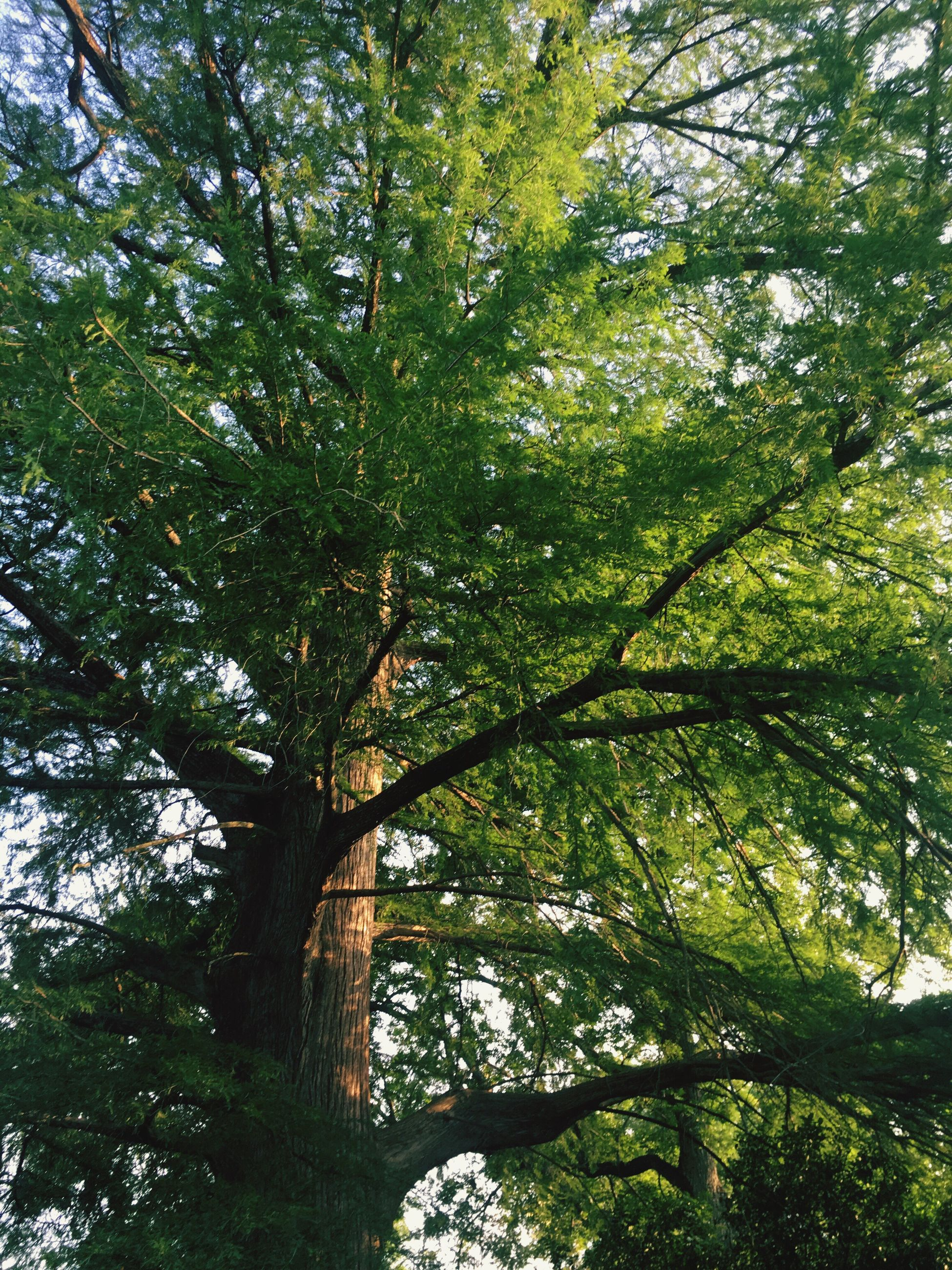 tree, growth, nature, low angle view, green color, beauty in nature, no people, outdoors, tranquility, day, sky, backgrounds, scenics