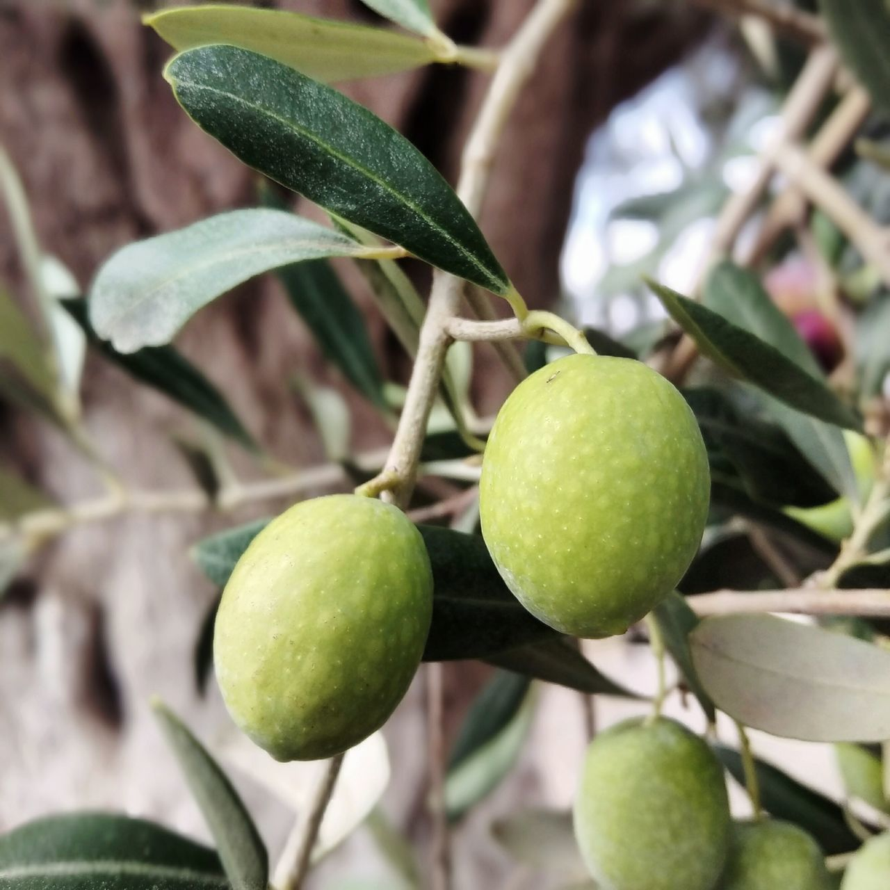 fruit, green color, growth, food and drink, leaf, food, freshness, healthy eating, branch, no people, outdoors, day, focus on foreground, close-up, citrus fruit, nature, tree, hanging, beauty in nature