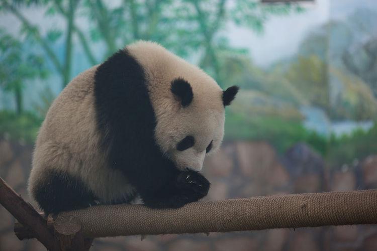 Full length of panda walking on log in zoo