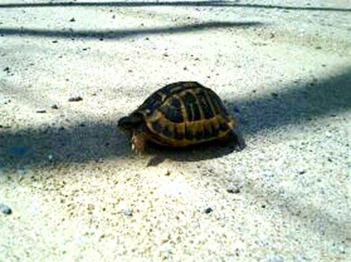 Calvi Turtle Corsica Animals