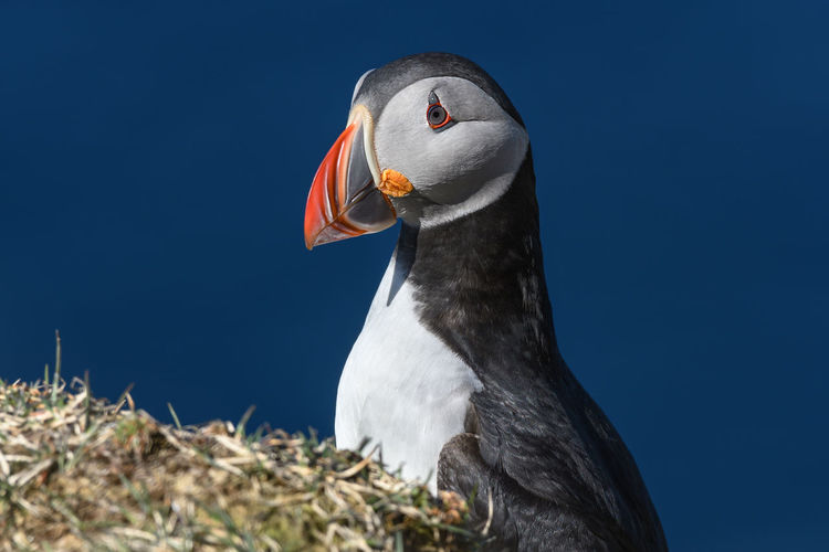 Puffin enjoys a beautiful day on the Langanes Peninsula bird cliffs in north Iceland Atlantic Ocean Beak Bird Photography Birdwatching Iceland Isolated Nature Puffin Species Of Bird Travel Wildlife & Nature Animal Arctic Bird Bird Cliffs Birds Black Clown Europe Island Langanes Ornithology  Portrait Sea Wildlife