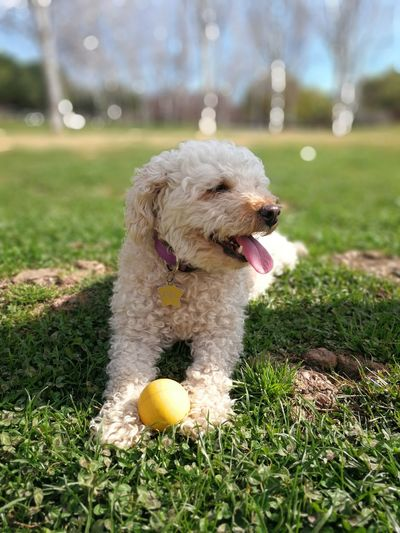 MEL 🐩 #photography Puppy Dogs Petstagram Photooftheday Ilovemydog Dogstagram Cute Fotografia Instadog Lovedogs #caniche #gos Pets Dog Ball