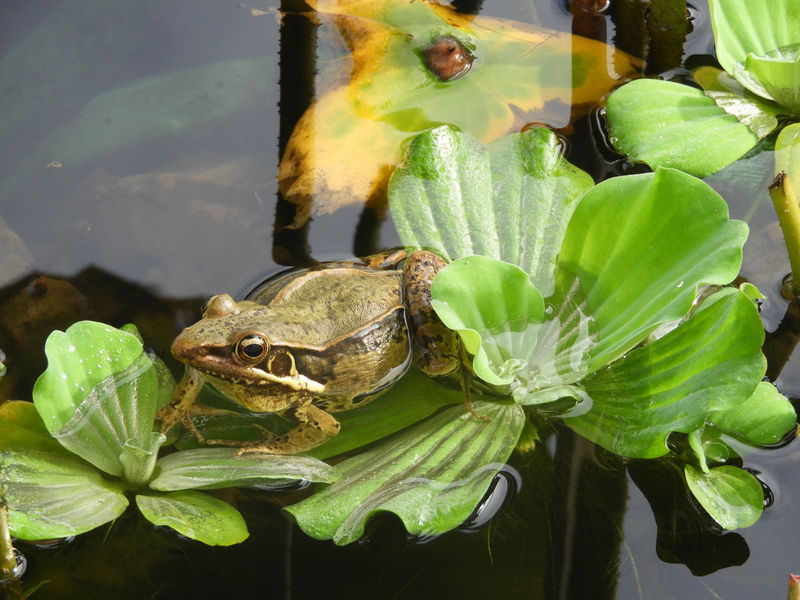 Funny Frog Reptile Animals In The Wild Animal Wildlife One Animal Animal Themes Leaf Nature Green Color Day Close-up Outdoors Plant Water No People