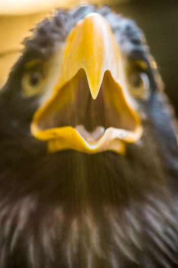 Beak Eagle Hook Animal Animal Body Part Animal Mouth Animal Themes Animal Wildlife Beak Open Bird Bird Of Prey Birdofprey Close-up Detail Eagle - Bird Eagle Beak Focus On Foreground Nature No People One Animal Representation Scream Screaming Selective Focus Yellow #FREIHEITBERLIN