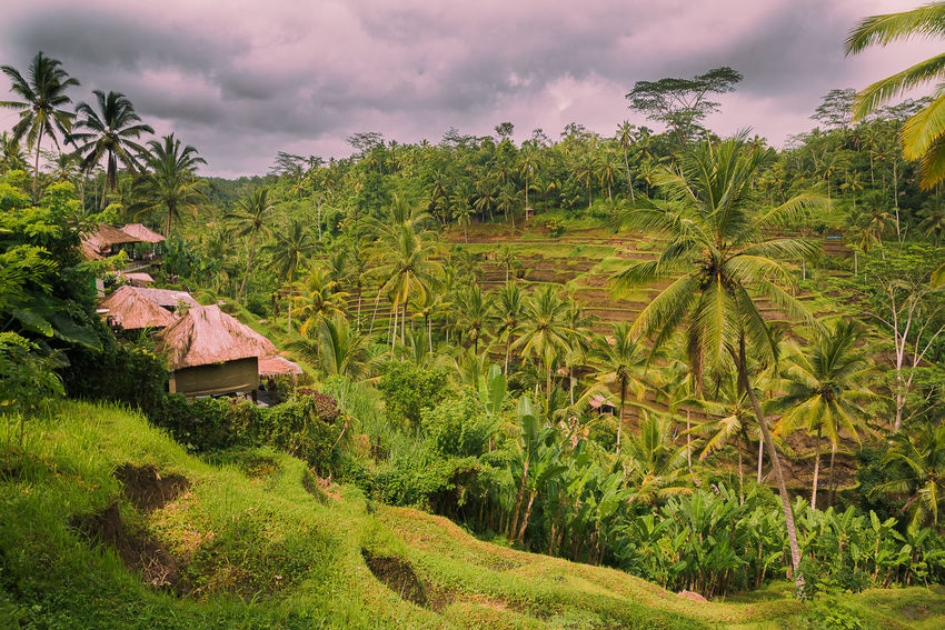 Agriculture Bali Beauty In Nature Cloud - Sky Day Green Color Landscape Multi Colored Nature No People Outdoors Paradise Plant Rice Paddy Risefield Rural Scene Scenics Sky Sunset Tranquil Scene Tranquility Tree My Year My View Lost In The Landscape