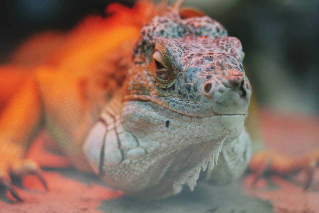 reptile, animals in the wild, animal themes, one animal, animal wildlife, lizard, close-up, day, no people, outdoors, nature, iguana