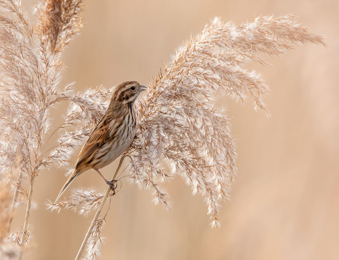 Reed bunting on