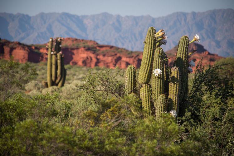 Flowers blooming on cactus on field against sky