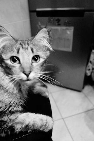 Eye Amazing Animal Pet Love Black&white Beauty Ofélia Cat♡