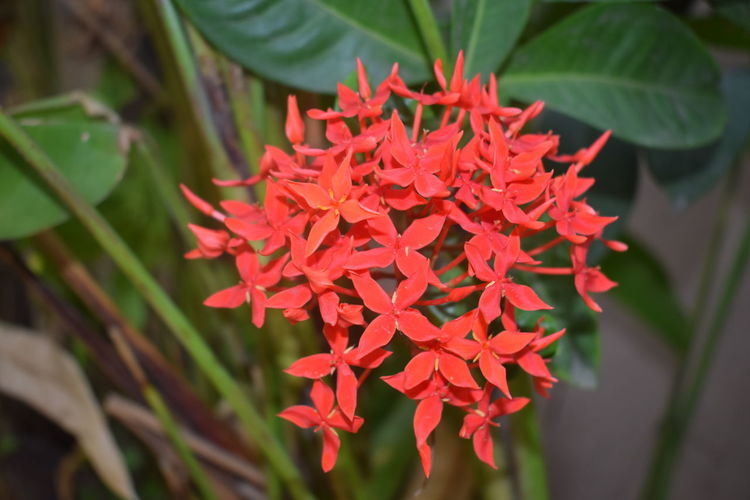 Red Flower Plant Beauty In Nature Day Growth Nature Leaf Close-up Outdoors No People Freshness Flower Head