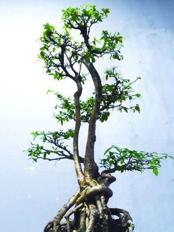 bonsai jasmine Tree Branch Sky Close-up Tree Trunk Woods Bonsai Tree Plant Bark Single Tree Plant Life Growth Moss Lichen