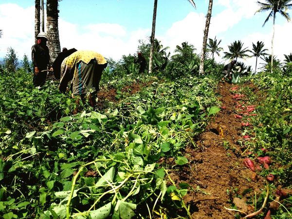Harvesting Sweet Potatoes: Three farmers taking on the scorching heat to gather their harvest for the day. Telling Stories Differently Farming Sweet Potatoes Harvesting Upland Farming Liliw, Laguna Farmers Philippines Agriculture Esmeris Farm Eyeem Philippines Nature Rear View Tree Day Growth Real People Field Outdoors Men Landscape Rural Scene Full Length People Walking Sky Plant Beauty In Nature