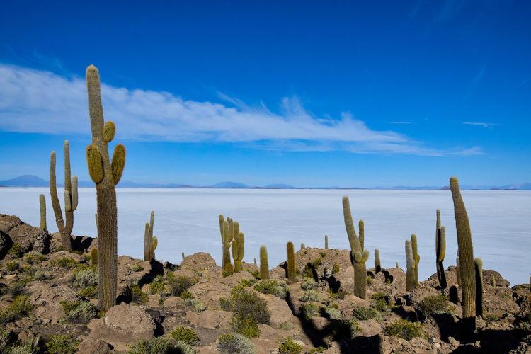 Cactus growing in desert against blue sky
