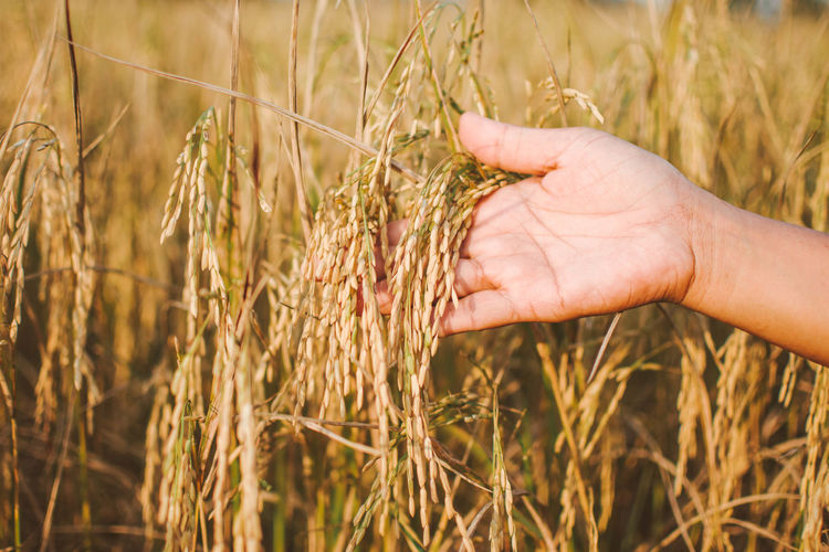 Cropped Hand Of Person Holding Cereal Plants On Field