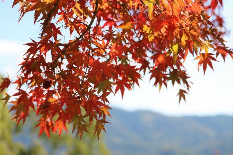 Close-Up Of Maple Leaves Against Sky