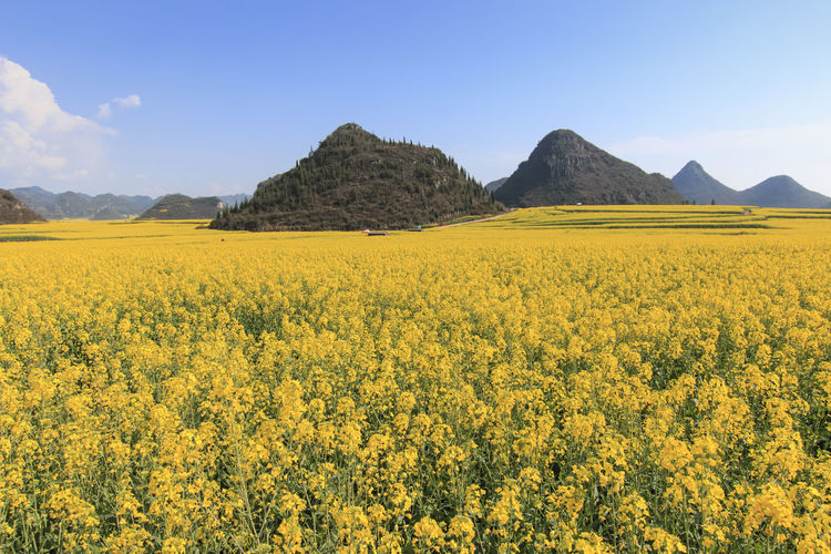 Rapeseed flowers of Luoping in Yunnan China Agriculture ASIA Beauty In Nature Bees China Field Flower Honey HoneyBee Landscape Luoping Minority Mountain Nature Rapeseed Rapeseed Blossom Rapeseed Field Rural Scene Scenics Tradition Tranquil Scene Tranquility Yellow Yunnan Yunnan ,China