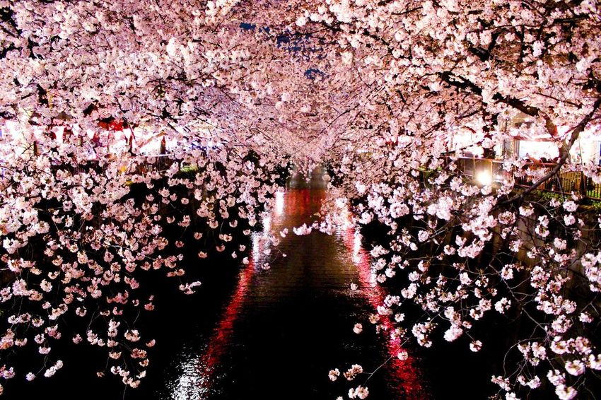 Urban Spring Fever Cherry Blossoms Cherry Blossom Flowers Flower Flower Collection Liver Travel Hello World Photography