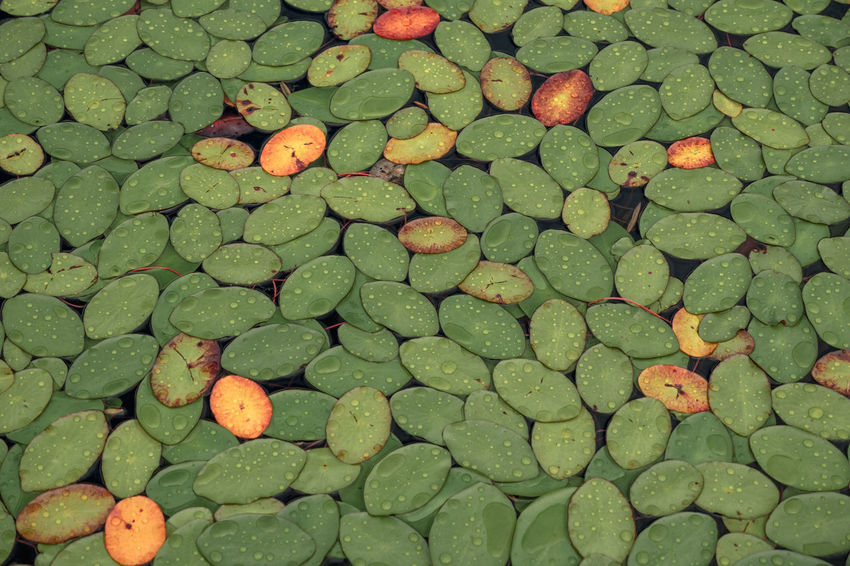 Lilypads in Sproat Lake on Vancouver Island in Canada Green Abundance Backgrounds Close-up Day Floating On Water Food And Drink Full Frame Green Color High Angle View Large Group Of Objects Leaf Lily Pad Lilypads Lilypads On Water Nature No People Outdoors Pebble Plant Part Solid Stone Stone - Object Water