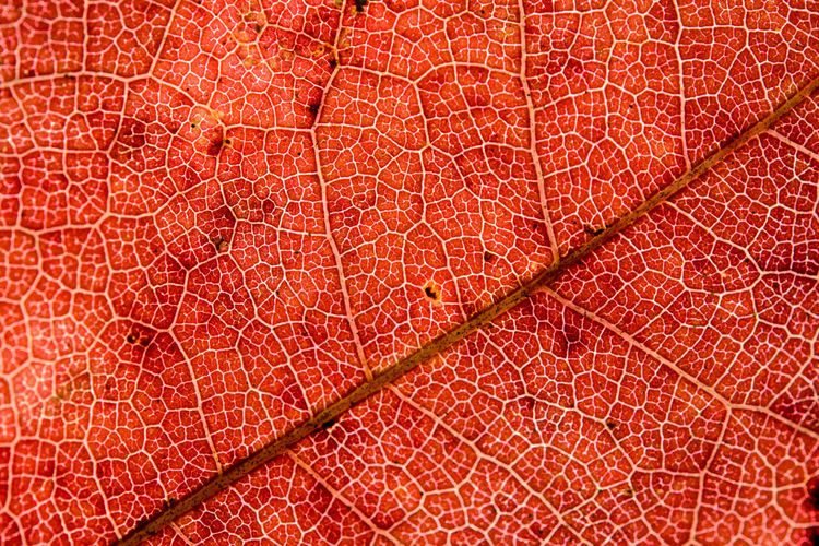 Vein of maple leaf with macro in front of sun Backgrounds Close-up Day Full Frame Indoors  Leaf Macro Maple Maple Leaf Nature No People Pattern Textured  Vein Veins In Leaves
