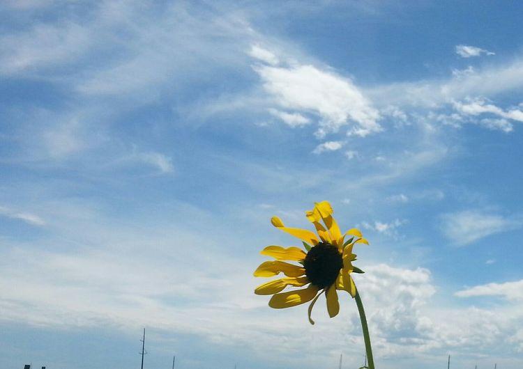 Coloradowildflower Coloradoliving Countrylife Yellow Yellowflowers PeytonCo Saturday EyeEm Nature Lover Countrypeace Bluesky