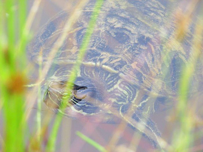 Pets Turtle Turtles Tartaruga Tartaruguinhas Cagado Nature Nature_collection Natureza Natureza Perfeita♡♥ Animais Animais Incríveis Agua Lago 🐢 Speed