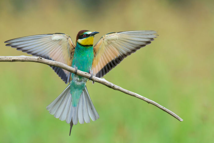 Animal Animal Themes Beauty In Nature Bee-eater Bird Blue Close-up Day Focus On Foreground Green Color Growth Nature No People Outdoors Perching Selective Focus Spread Wings Wildlife