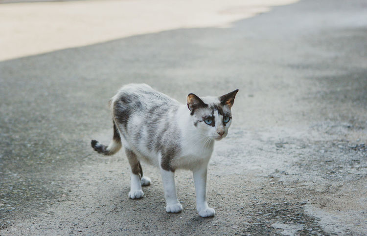 Cat City Day Domestic Domestic Animals Domestic Cat Feline Focus On Foreground Full Length Looking At Camera Mammal No People One Animal Pets Portrait Standing Vertebrate Whisker