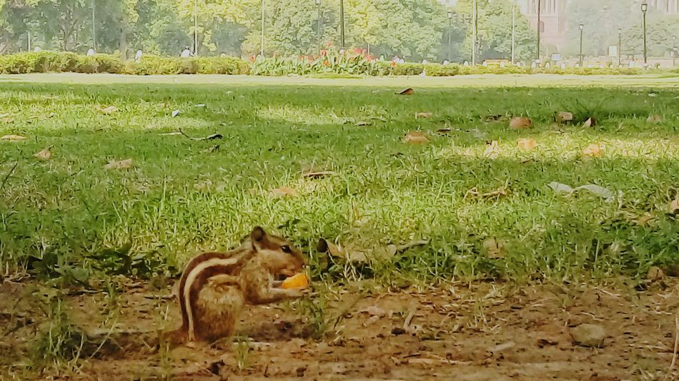 Squirrel having cheese ball.. Great Grass Nature Eyem Best Shots EyeEm Best Shots EyeEm Nature Lover Eyeem Best Photos India Animal Animal Photography Squirrel Closeup Cheese Squirrel