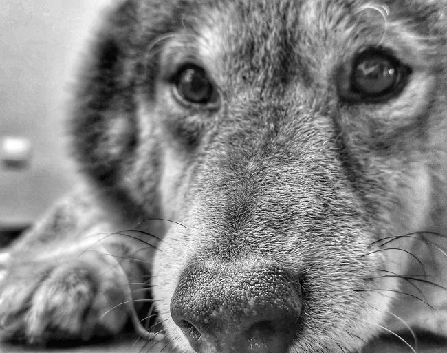 #pet#dog#shibain