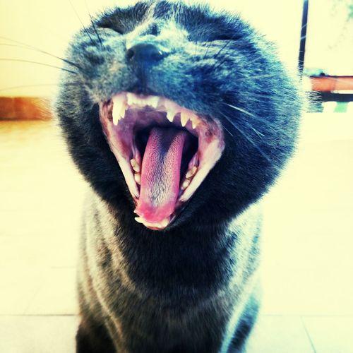 catmorning Cat Mouth Moustache Theeth Paris Feline Goodmorning :) Catmorning Dog Mammal Animal Tongue Yawning Close-up