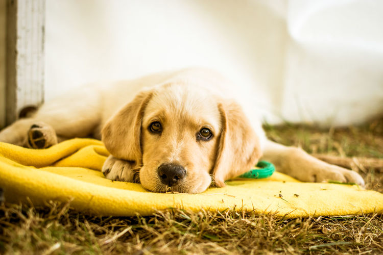 Pets Domestic Domestic Animals Canine Dog One Animal Mammal Animal Themes Animal Retriever Relaxation Lying Down Young Animal No People Golden Retriever Puppy Day Cute Labrador Retriever Indoors  Purebred Dog