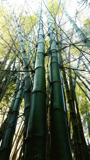 Bamboo Trees Looking Up Green Green Green!  Nature Photography Nature_collection Nature Textures The Great Outdoors - 2017 EyeEm Awards