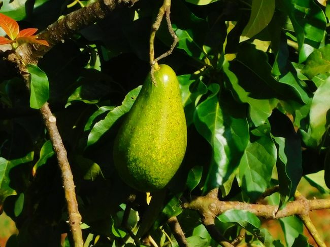 Avocado Fruit Avocado Avocado Tree Avocado Fruit Avocado Plant Avocados Tree Fruit Agriculture Leaf Hanging Close-up Green Color Food And Drink Unripe Fruit Tree Guacamole