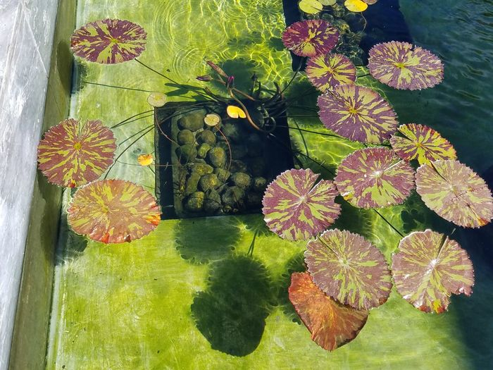Lily Pads Fountain Outdoors Plant Life Green Multi Colored Tranquility Nature Beauty In Nature Fragility Growth Adapted To The City Nature_perfection Nature_collection Interesting Perspectives Fine Art Photography Still Life Photography Check This Out Pattern, Texture, Shape And Form No Edit, No Filter Water Surface Vibrant Color Floating On Water Tranquility Tranquil Scene