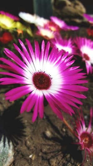 Mobilephotography Samsungphotography Samsung Galaxy S6 Edge Nature Photography Nature_collection Nature Garden Garden Photography Livingstone Daisies Daisies Flower Head Flower Pink Color Petal Purple Close-up Plant In Bloom Plant Life