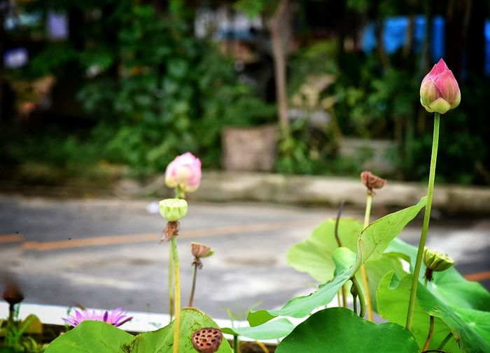 Flower Plant Nature Leaf Growth Outdoors Focus On Foreground Flower Head Beauty In Nature Petal No People Close-up Day Lotus Water Lily Fragility Rose - Flower Pink Color Freshness Green Color Wilted Plant
