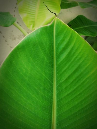 leaf banana Green Middle Line Leaf Close-up Green Color Plant Banana Tree Banana Leaf Greenery Young Plant