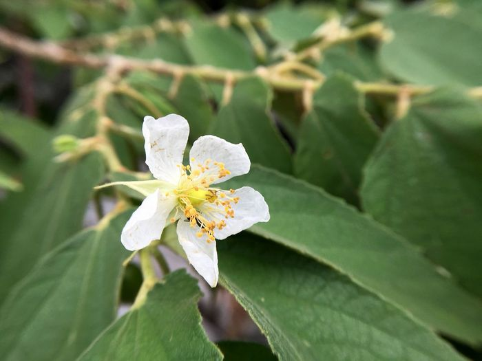 Flacourtia Jangomas Muntingia Calabura Beauty In Nature Blooming Blossom Close-up Day Flora Floral Flower Flower Head Fragility Freshness Green Color Growth Indian Plum Jamaican Cherry Leaf Macro Nature No People Outdoors Petal Plant White Color