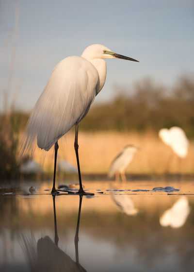 Wildlife Animal Themes Animal Wildlife Animals In The Wild Beauty In Nature Bird Day Egret Gray Heron Great Egret Heron Lake Nature No People Outdoors Sky Water Waterfront