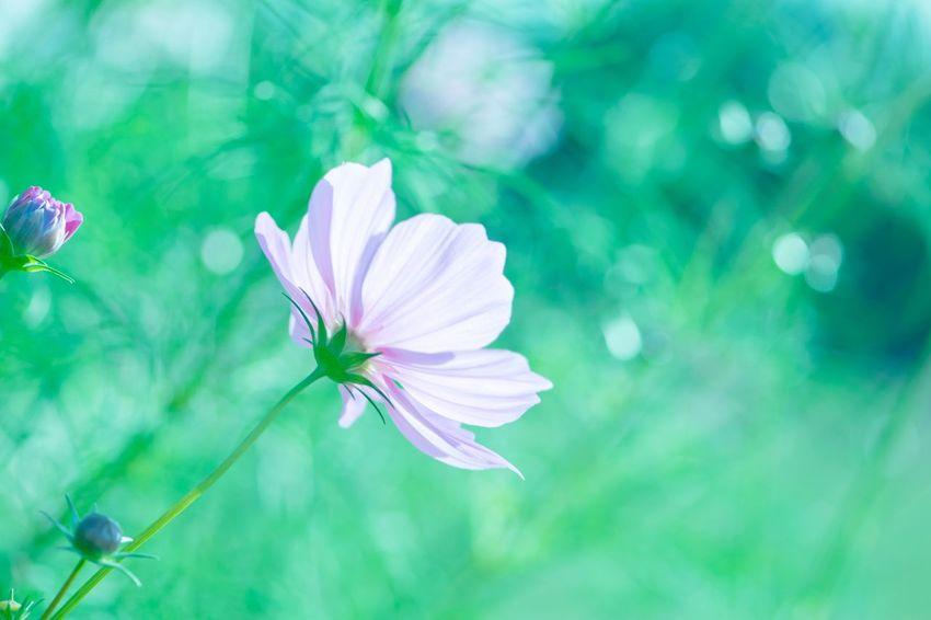 10月の晴れた日 秋桜 コスモス Flower Nature Beauty In Nature Flower Head Flowers, Nature And Beauty Eyemphotography 写真で伝えたい ファインダー越しの私の世界 Autumn 秋 Cosmos Flower EyeEm Japan Flower Collection Flower Photography