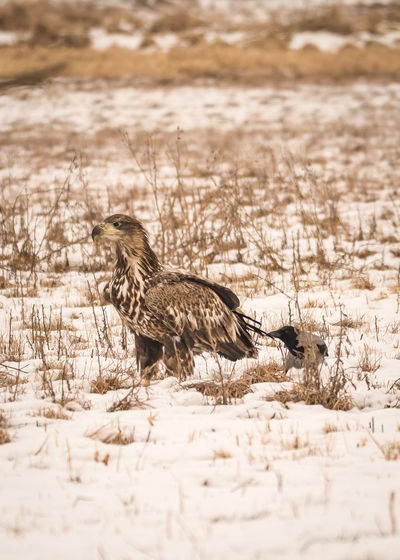 Common buzzard and gray crow on snow covered field