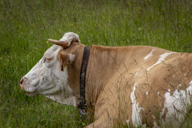 Animal Animal Themes Cattle Cow Day Domestic Domestic Animals Domestic Cattle Field Grass Herbivorous Horned Land Livestock Mammal Nature No People One Animal Pets Plant Vertebrate