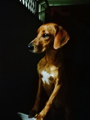 Dog Pets Domestic Animals One Animal Animal Themes Black Background No People Indoors  Frida Relax :) My Best Friend Happy :) Beauty Waiting ... Attention